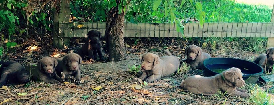 Chesapeake Bay Retriever Farm Puppies